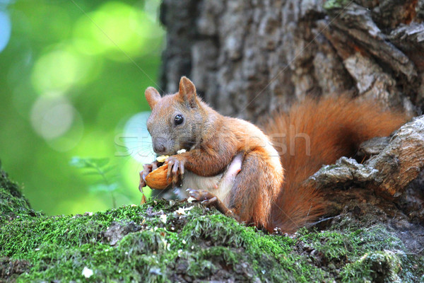 squirrel  Stock photo © koca777