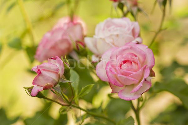 Bella ramo rose fiori fiore natura Foto d'archivio © koca777