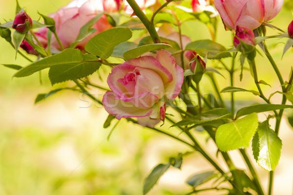 Bella ramo rose fiori rosa natura Foto d'archivio © koca777