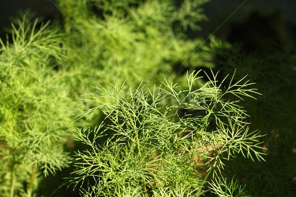 Vert jardin printemps feuille été médecine Photo stock © koca777