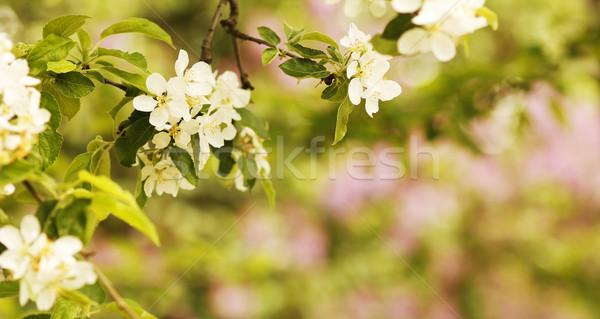 Foto d'archivio: Albero · bella · fiori · bianchi · fiore · fiori · sfondo