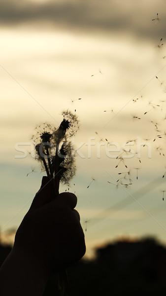 dandelion flower Stock photo © koca777