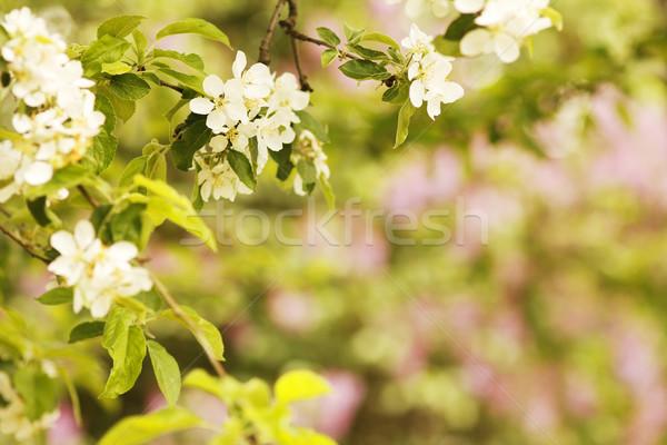 Ağaç güzel beyaz çiçekler çiçek çiçekler arka plan Stok fotoğraf © koca777