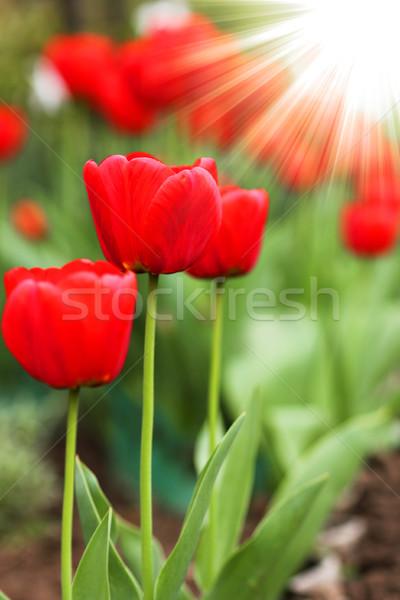 Hermosa rojo tulipán flor Pascua amor Foto stock © koca777