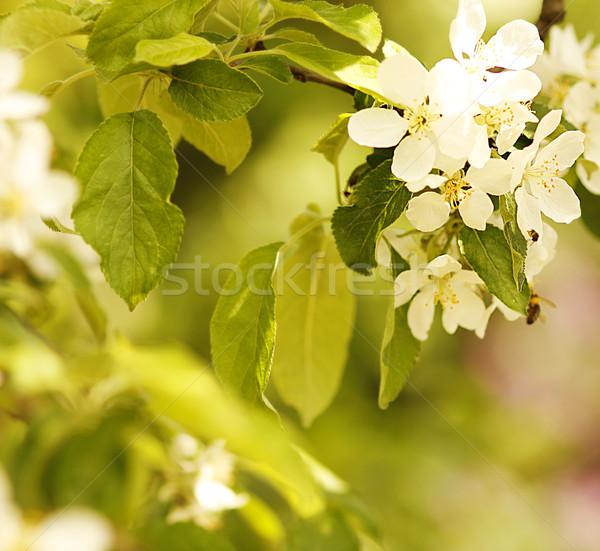 дерево красивой белые цветы цветок цветы фон Сток-фото © koca777