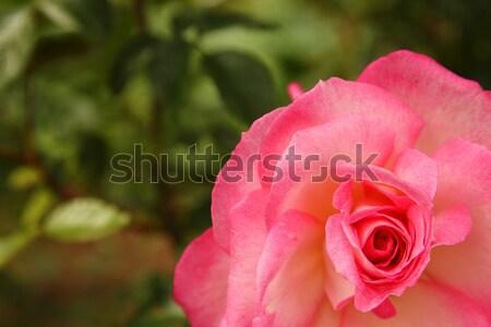 Piękna oddziału róż różowy charakter przestrzeni Zdjęcia stock © koca777