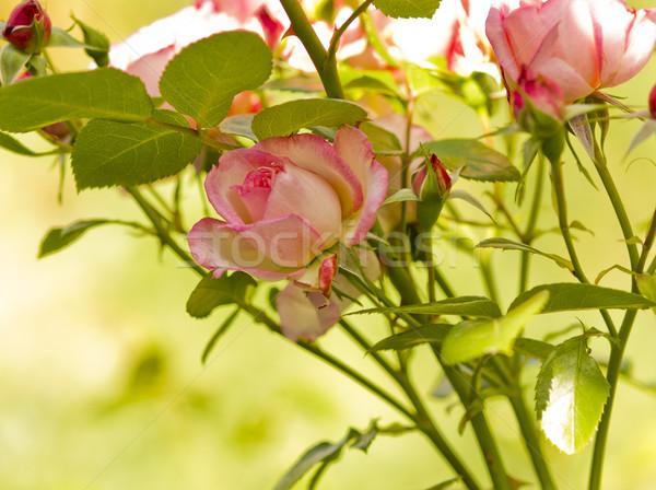 beautiful branch of roses flowers Stock photo © koca777