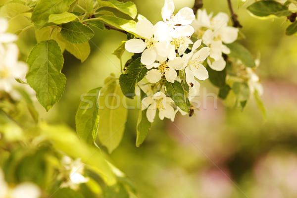 árbol hermosa flores blancas flor flores fondo Foto stock © koca777