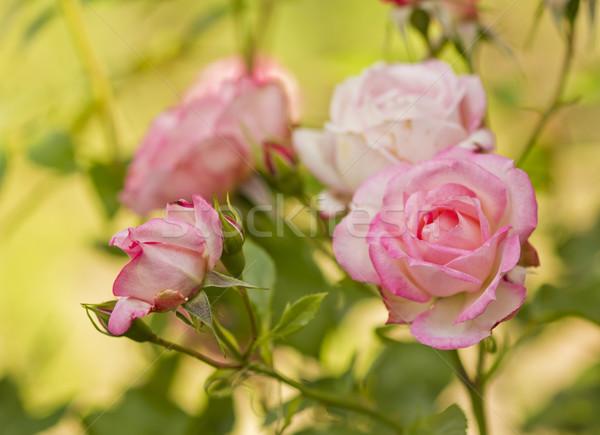 красивой филиала роз цветы цветок природы Сток-фото © koca777