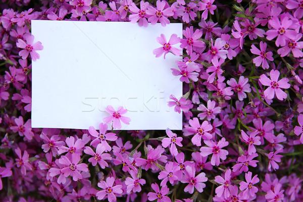 Blanco papel púrpura flores flor naturaleza Foto stock © koca777