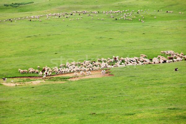 Nyáj birka nagy legelő hegyek természet Stock fotó © kokimk