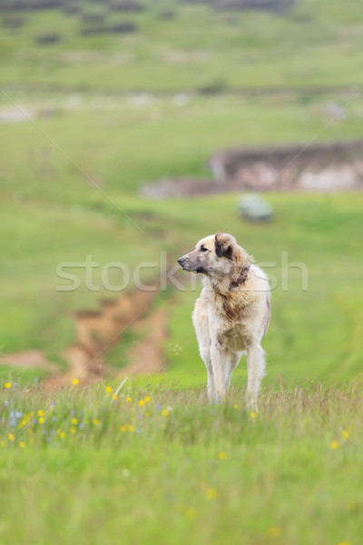 shepherd dog Stock photo © kokimk