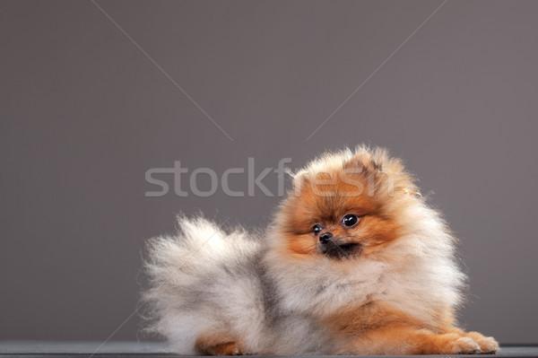 Kutyakölyök nyolc hónapok öreg baba haj Stock fotó © kokimk