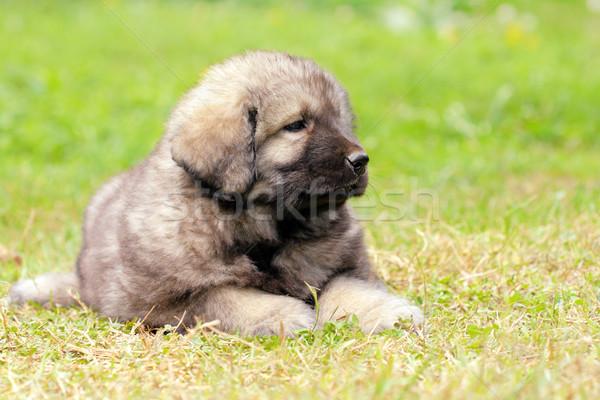 Sarplaninec, Macedonian shepherd dog Stock photo © kokimk