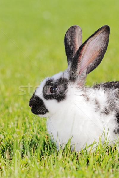 ウサギ 白 グレー 緑 草原 髪 ストックフォト © kokimk