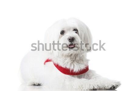 Cachorro vermelho isolado branco retrato foto Foto stock © kokimk
