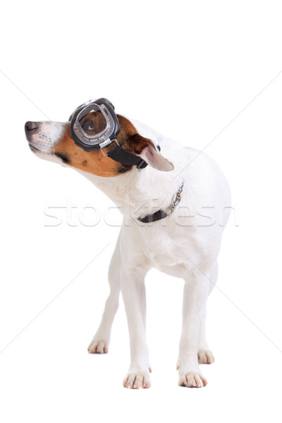 Jack Russel Terrier dog portrait Stock photo © kokimk