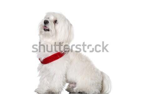 Kutyakölyök piros izolált fehér portré fotó Stock fotó © kokimk