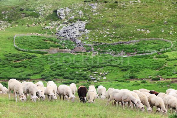 Rebanho ovelha grande prado montanhas natureza Foto stock © kokimk