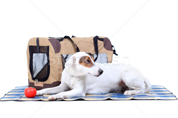 Jack Russel Terrier with a carrying bag Stock photo © kokimk