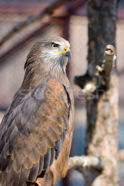 ハヤブサ 肖像 ブラウン 羽毛 法案 強い ストックフォト © kokimk