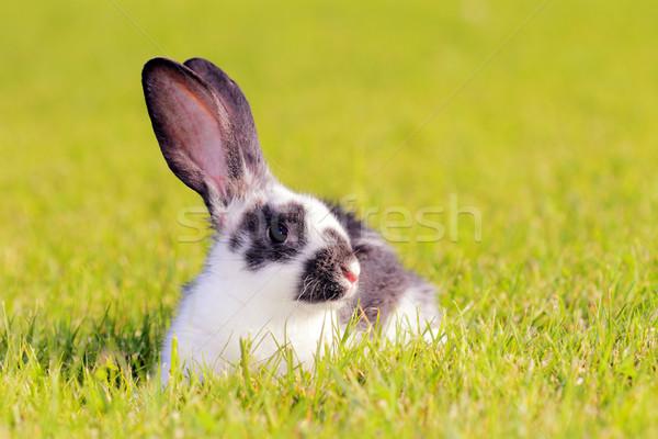 rabbit in a meadow Stock photo © kokimk