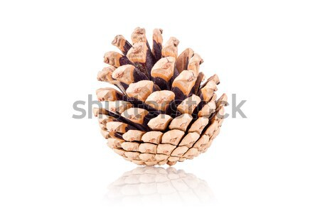 pinecone Stock photo © kokimk