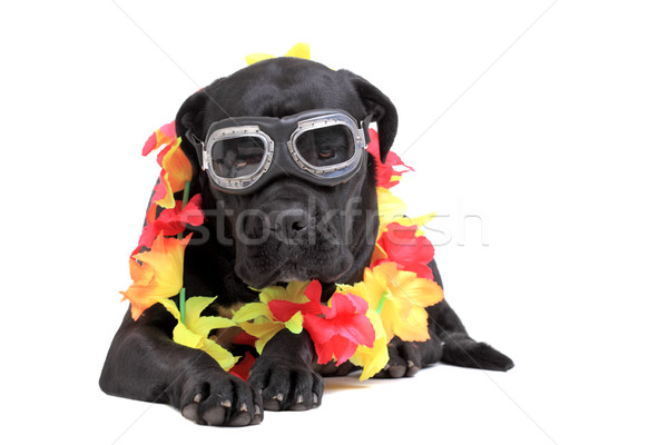 Cane Corso purebred dog Stock photo © kokimk