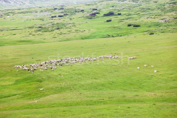 Koyun büyük çayır dağlar doğa Stok fotoğraf © kokimk