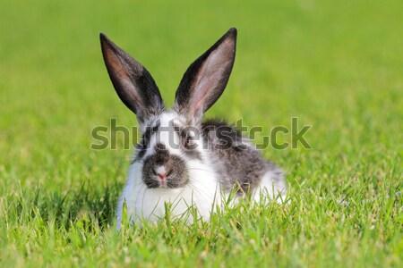 Tavşan beyaz gri yeşil çayır saç Stok fotoğraf © kokimk