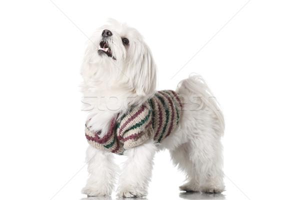 Kutyakölyök ruházat izolált fehér portré fotó Stock fotó © kokimk