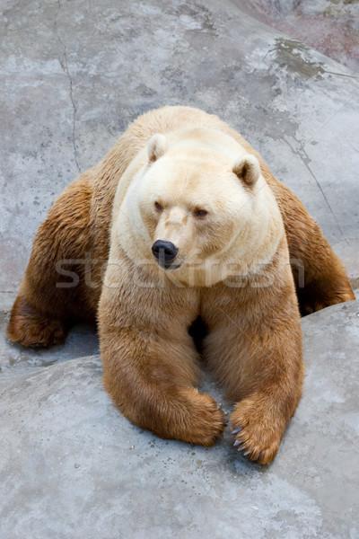 Ayı büyük kahverengi beyaz hayvanat bahçesi Stok fotoğraf © kokimk