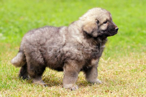 Pastor perro montana Pareja meses edad Foto stock © kokimk