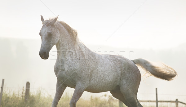 White, strong horse on freedom Stock photo © konradbak