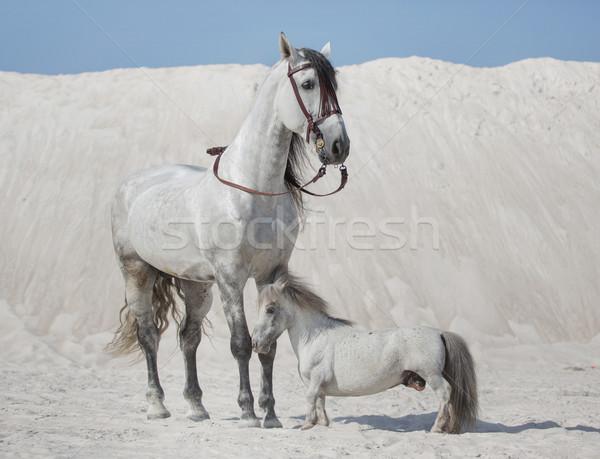 Two white horses on the desert Stock photo © konradbak