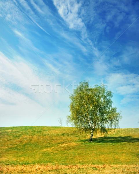 Birch on a spring day Stock photo © konradbak