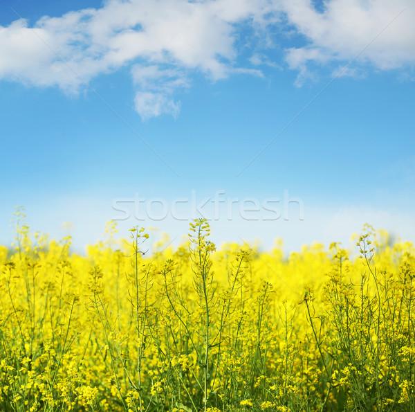Gelb Bereich blühen Bild Gras Sonne Stock foto © konradbak