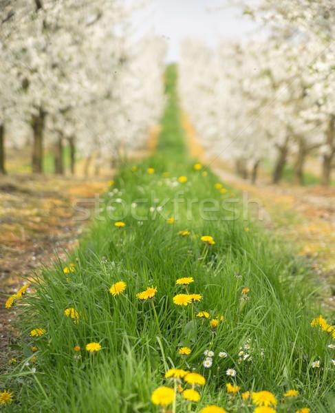 Mooie natuur kers boomgaard voorjaar boom Stockfoto © konradbak
