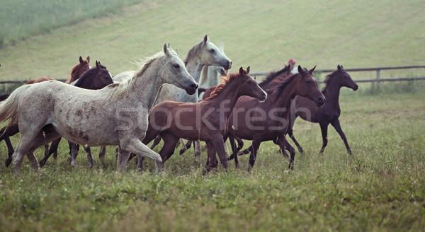 Picture of bevy wild horses on the meadow Stock photo © konradbak