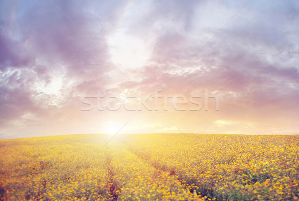 Stock photo: Beautiful sunset over the canola field