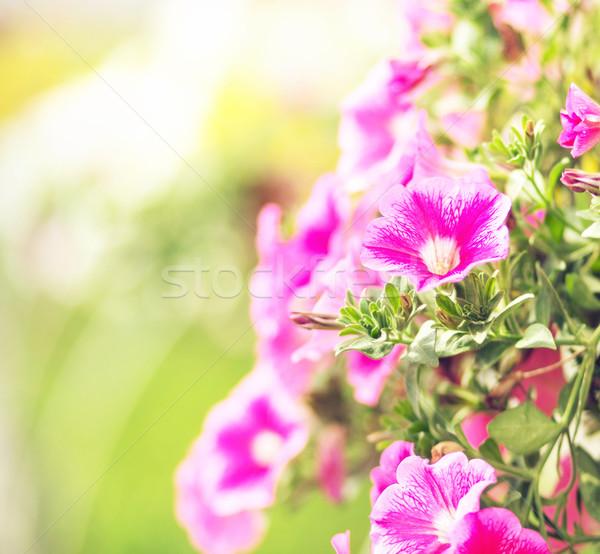 Kolorowy kwiaty pachnący sad ogród kwiat Zdjęcia stock © konradbak