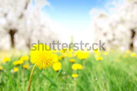 Fresco amarelo dandelion pomar de macieiras flor Foto stock © konradbak