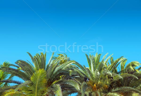 Vers groene palmboom heldere hemel blauwe hemel tuin Stockfoto © konradbak