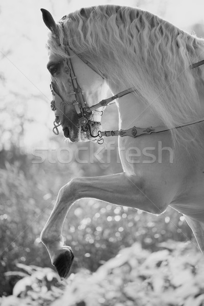 Majestueux fort cheval blanc blanche cheval Photo stock © konradbak