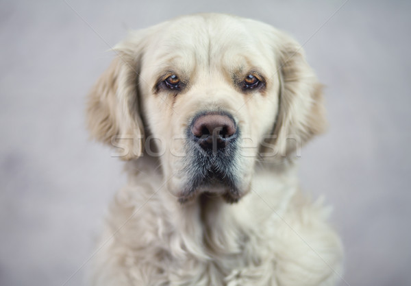 Stock photo: Sad look of a beautiful dog