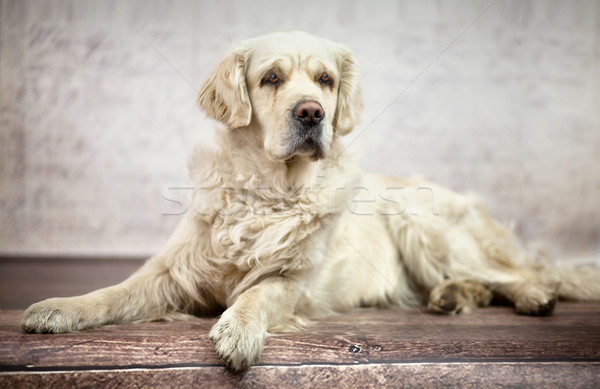 Great photo of white friendly dog Stock photo © konradbak
