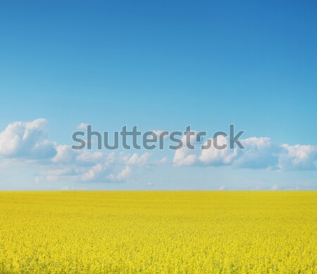 Stock photo: Canola crops on blue sky