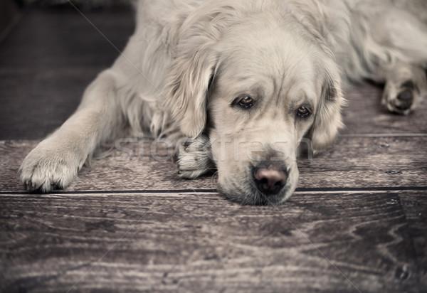 Friendly dog waiting for his master Stock photo © konradbak