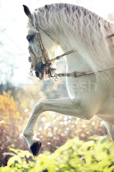 Foto stock: Real · cavalo · mover · cavalo · branco · pôr · do · sol