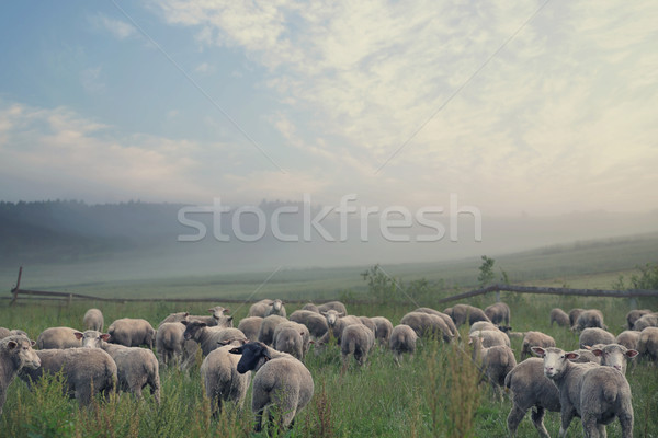 Rular landscape and eating sheeps Stock photo © konradbak